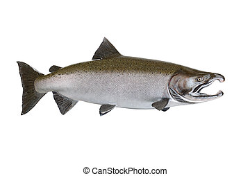 Large Salmon isolated on white background - Large pristine...