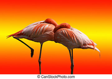 Large-scale image of the red flamingos, isolated on bright background