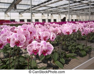 Large Scale Orchid Nursery - Orchids of the Phalaenopsis...