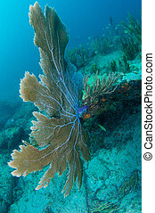 Large Sea Fan growing on a reef ledge.
