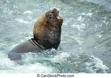 Large sea lion male roaring on the coast of Atlantic ocean by the shores of Falkland Islands.
