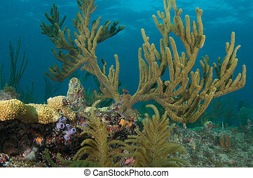 Large sea rod on a reef in south east Florida.