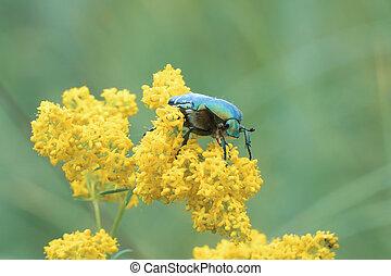 Large shiny green beetle Cetonia aurata on yellow flower