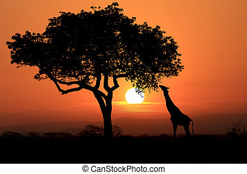 Large South African Giraffes at Sunset in Africa - South ...