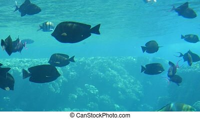Large spherical fishes swimming in a shoal in the Red Sea...