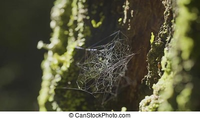 Large spiderweb , on a tree, on morning dew, with natural...