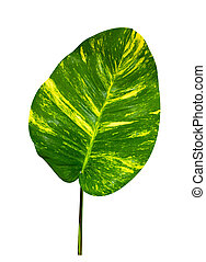 Large spotted betel leaf, isolated on a white background