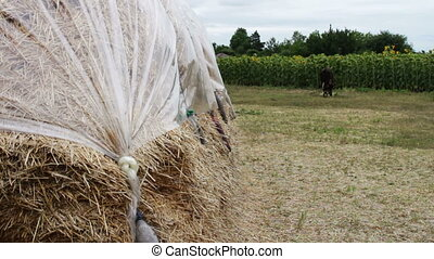 Large stack of hay or straw covered with polythene dries...
