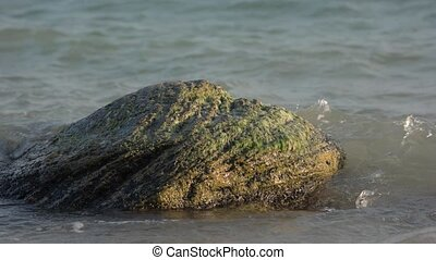 Large stone with seaweed in the water. Sea waves wash the...