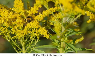 large striped shaggy bumblebee drinks nectar on yellow flowers close-up