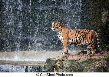 Large striped tiger