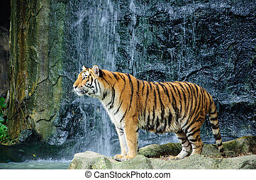Large striped tiger with waterfall background