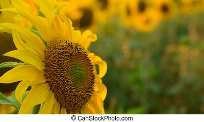 large sunflower flower at sunset - Field with sunflower In...