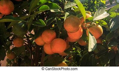 Large Tangerine-tree in Pot on Market Place in Vietnam -...
