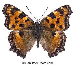 Large tortoiseshell butterfly (Nymphalis polychloros)...