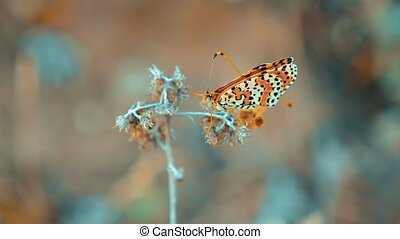 Large Tortoiseshell, Nymphalis polychloros butterfly. brown...