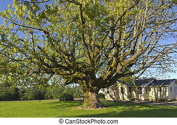 Large tree in a yard in rural Oregon.