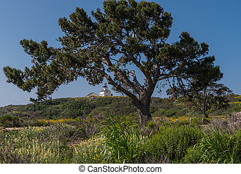 Large Tree in Front of Lighthouse at Cabrillo