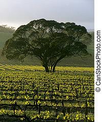 Large Tree in Vineyard