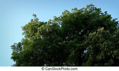 Large Tree Sways In Wind - Tree swaying in strong wind