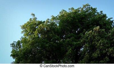 Large Tree Sways In Wind