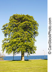 Large tree with green leaves with blue ocean in the background