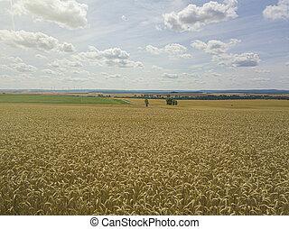 wheat crops field