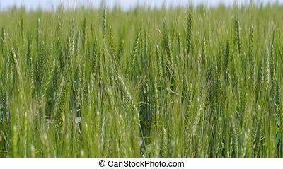 Large Wheat Field