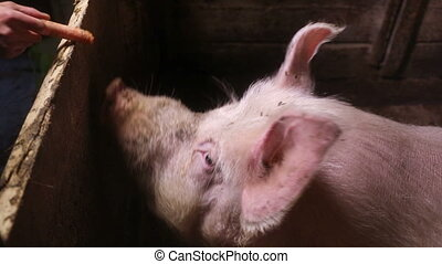 Large white boar eating a carrot - Female hand feeds a large...
