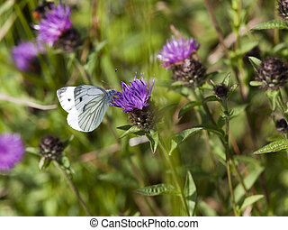 large white butterfly on knapweed flower