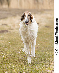 Large white dog running