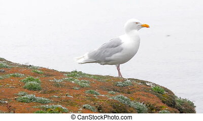 Large white Jonathan Livingston Seagull sits on cliff above sea
