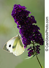 Large white on Butterfly bush flowers in summer