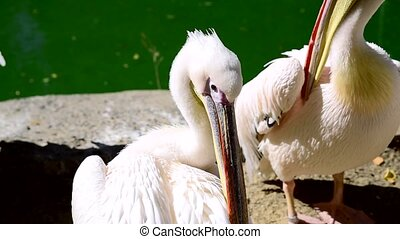 Large white pelicans clean feathers on a pond, summer day