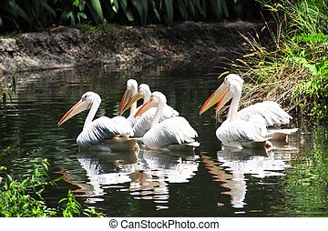 Large white pelicans swimming in a pond