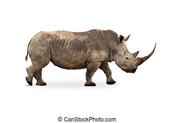 Large White Rhino Profile Big Horn Extracted