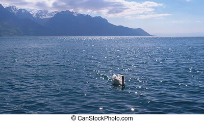 Large White Swan Swims in a Clear Mountain Lake on backdrop of the Swiss Alps