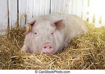 Large white swine (Yorkshire pig) lying on straw in pen with white wooden fence in background