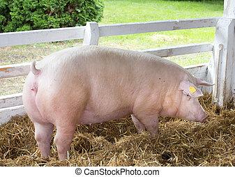 Large white swine on farm - Large white swine (Yorkshire...
