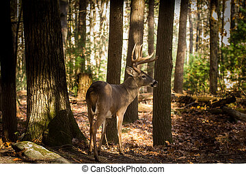 Large white-tailed deer buck in woods - Large whitetailed ...