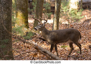 Large white-tailed deer buck in woods - Large whitetailed...