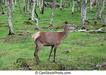 Large whitetail deer buck in the woods of Norway