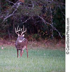 Large whitetail deer - Large whitetailed deer feeding in an...