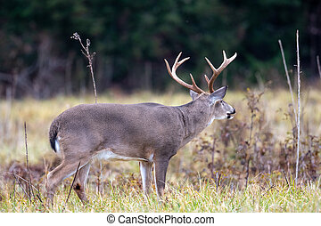 Large whitetailed deer buck moving through an open meadow during the rut in Great Smoky Mountains National Park