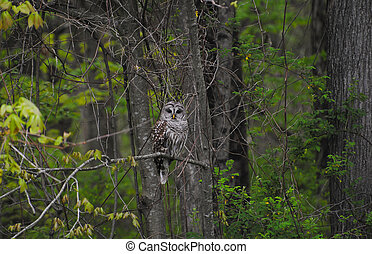 Large Wild Barred Owl