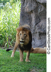 Large Wild Lion Standing in Grassy Area