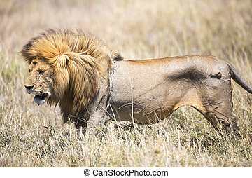 Large wild male lion in Serengeti