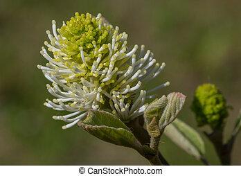 Large witch alder(Fothergilla major) single flower closeup