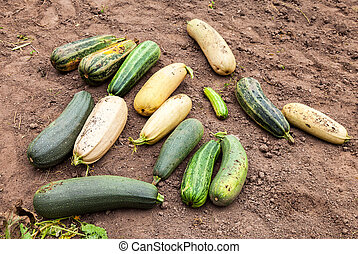 Large yellow and green zucchini in the vegetable garden