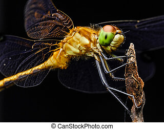 Large Yellow Dragon Fly On Branch